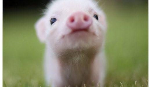 豚コレラが日本で26年ぶりに発生!人間に影響あるの?